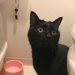 ぽっちゃり黒猫 5才 女の子