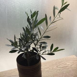 大好評につき再入荷 オリーブの木A インテリア 観葉植物
