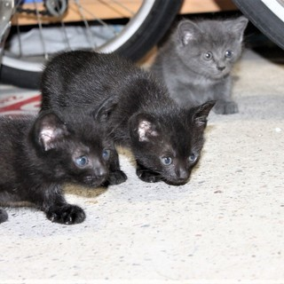 黒2匹、グレー1匹 仔猫の里親を募ります