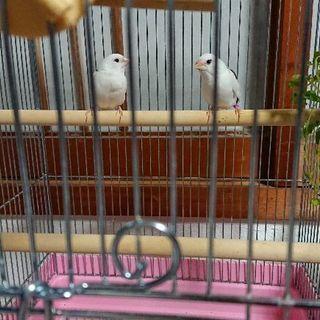 雄雌ペア十姉妹 +鳥かご