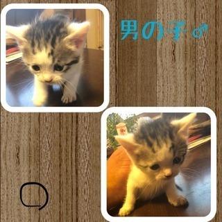 生後2ヶ月仔猫3匹、里親募集!!(ママはスコティッシュです!)