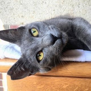 見た目はクール♪ でも甘えん坊さんの1歳のオス猫
