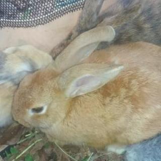 生後1ヶ月~!ウサギ譲ります(※6/22現在11匹います!)