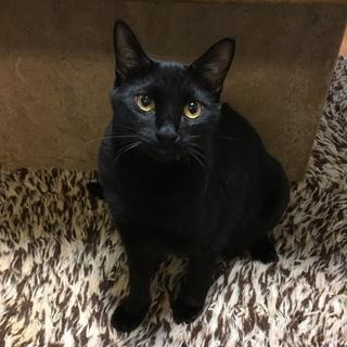 ビビリくんですが美猫の黒猫♂一歳  信長くん