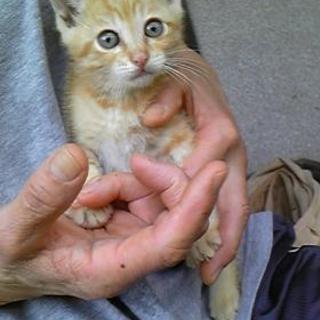 【里親さま決まりました】人懐っこい尾短子猫のミュウちゃん