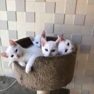 【元気いっぱい♪】3月30日産まれ❤白猫4兄弟❤里親募集中!!