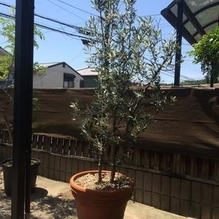 オリーブの木。