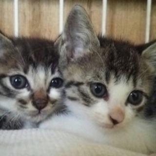 美猫キジトラ4兄弟 2カ月