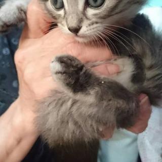 生後1か月子猫兄弟ペア(キジ長毛+タキシード)
