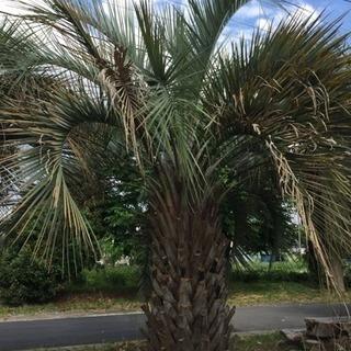 迫力の存在感‼︎ ココスヤシの木 極太の4.9m