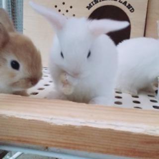 【募集一時停止】5月生まれウサギ