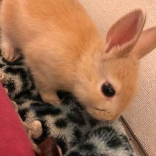 茶色のウサギの里親さん