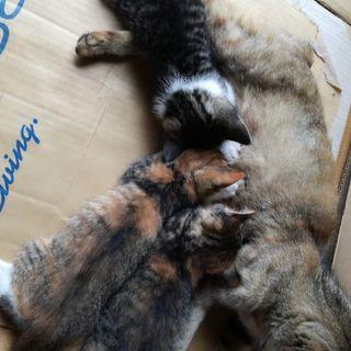 生後一ヶ月半の子猫三匹います