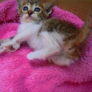 3*生後1か月キジシロちゃん女の子 里親さん募集 6/21正式譲渡完了しました - 猫