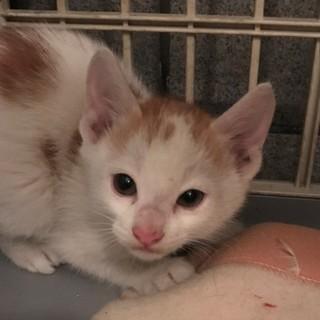 子猫、1.5ヶ月ぐらい,シロ茶