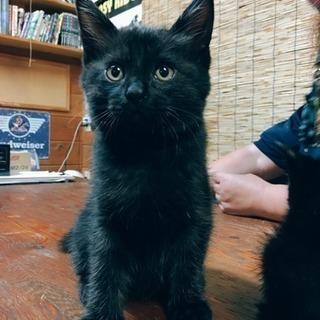 黒サバの男の子2匹 - 猫