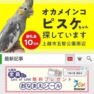 オカメインコ捜しています。保護して頂いた方には謝礼10万円をご用意...