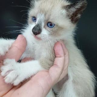 里親募集 1ヶ月半子猫 三兄弟(更新✨残り1匹となりました!)