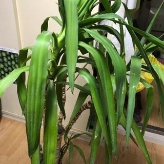 観葉植物  ユッカ木