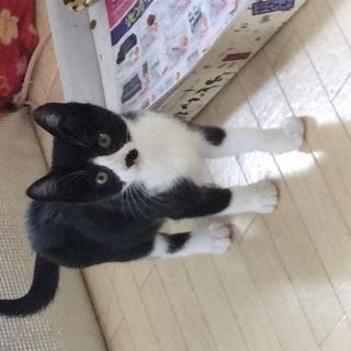 子猫 2ヵ月 メス 里親さん募集