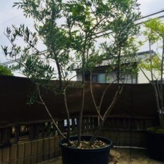 オリーブの木の中に、シマトネリコ。