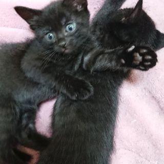 黒猫の子猫ちゃん里親さん募集