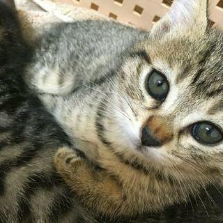 キジトラ美少女子猫ちゃん