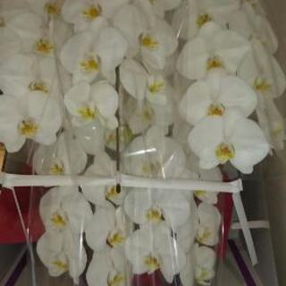 御祝い プレゼント  胡蝶蘭5本立ち白