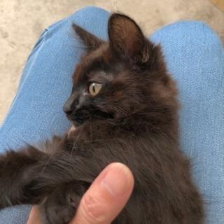 生後約2ヶ月の仔猫ちゃん里親募集