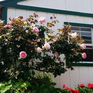 ♦バラ「2/中旬迄」や観葉植物の手入れなど 「剪定・植え替…