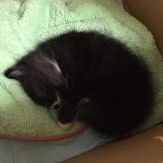 1ヶ月の子猫です。もらってください(;ω;)