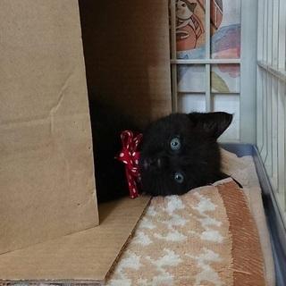 クマ顔の黒猫「ジジたろう」里親様を募集いたします。