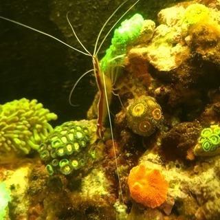 海水 スカンクシュリンプ1匹