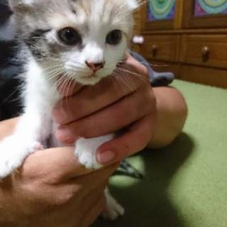 5月7日産まれ三毛猫の仔猫ちゃん🐈