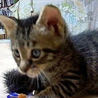 家族に迎えて下さい。生後35日の元気な可愛い仔猫(♀)仮の名は<...