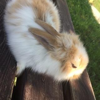 生後3週間目のウサギちゃんです。(あと1羽)
