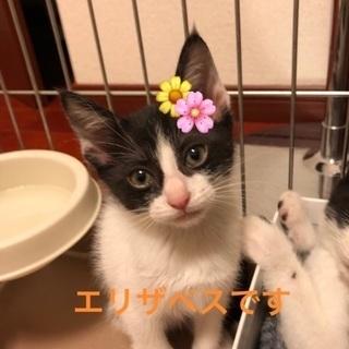 四姉妹の可愛い子猫たち エリザベス