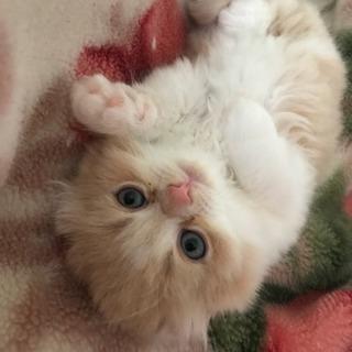 もふもふペルシャとアメリカンカールの子猫です(//∇//)
