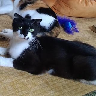 白黒ハチワレ母猫(避妊手術済)