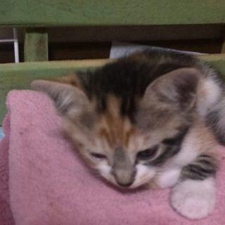 三毛子猫(メス)の里親さまを募集してます。