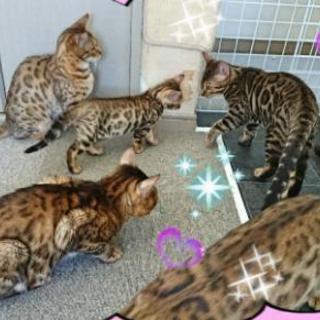☆ベンガル猫オーナー様募集☆