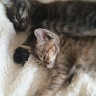 生後1ヶ月子猫の里親さん、募集します。