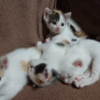 三毛猫♀生後1ヶ月です。 - 鹿児島市