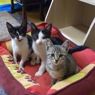 【再募集】賢い母親から生まれた天真爛漫な子猫の里親至急募集してます