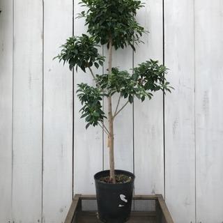 観葉植物 フィカス ナナ
