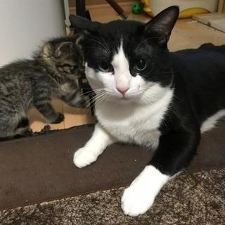 フィリックスのような黒白猫。約1才のオスです。