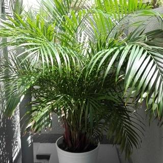 ☆観葉植物 アレカヤシ 高さ約150cm 育てて頂ける方歓迎☆