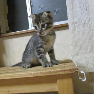 (キャンセルが出た為、再募集)生後7週目の子猫、スコティシュのミ...
