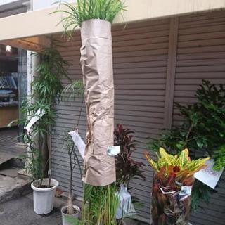 アレカヤシ 尺鉢 観葉植物