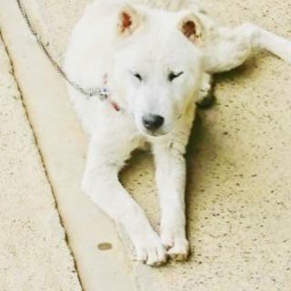 純血紀州犬(中型犬)